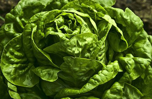 fresh butter lettuce